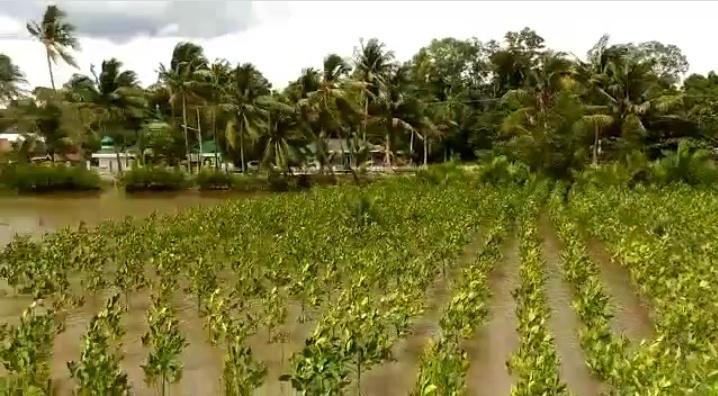 Penghijauan - Kawasan sekitar pesisir pantai Kumai tampak hijau ditanam poho mangrove.