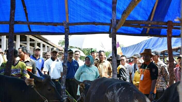 Bupati Kobar Hj Nurhidayah saat meninjau ternak sapi di Pasar Ternak Sayangan di Desa Pandu Senjaya Sabtu (3/8/2019).
