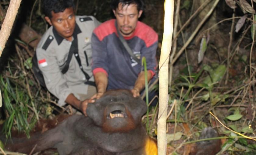 Tim BKSDA saat mengevakuasi orangutan Kamis (19/9/2019).