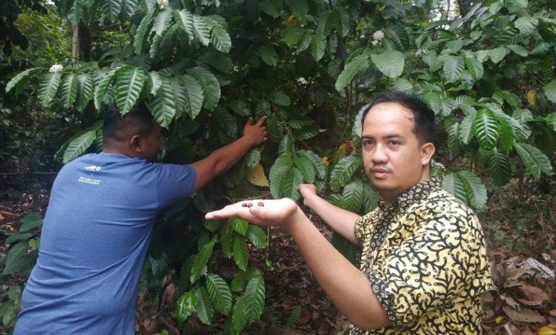 Anggota DPRD Kobar Rizky saat meninjau kebun kopi di Desa Kumpai Batu Atas belum lama ini.