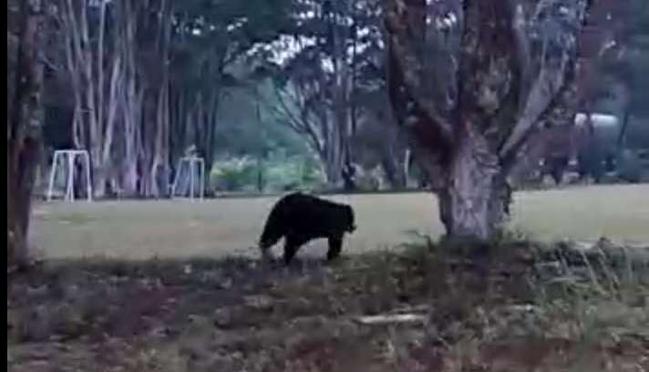 Beruang madu saat masuk kawasan Lanud Iskandar Pangkalan Bun Kamis (3/10/2019).