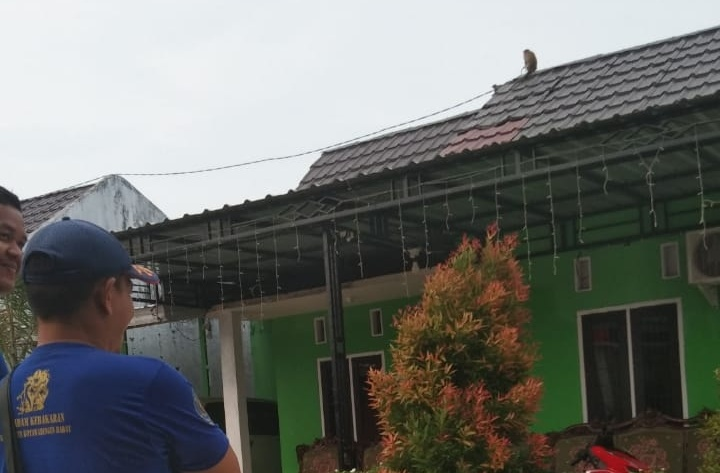 Petugas Damkar Kobar saat bersiap untuk mengevakuasi monyet liar yang menaiki atap rumah warga Sabtu (26/10/2019).
