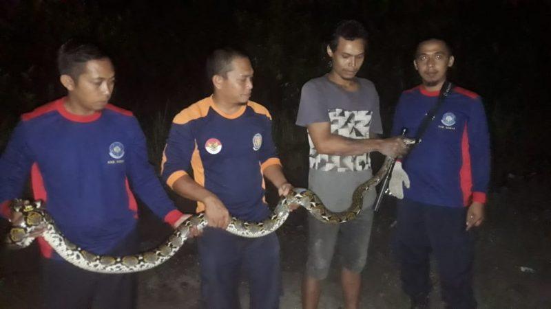 Petugas Damkar Kobar saat menangkap ular sanca sepanjang 3 meter.