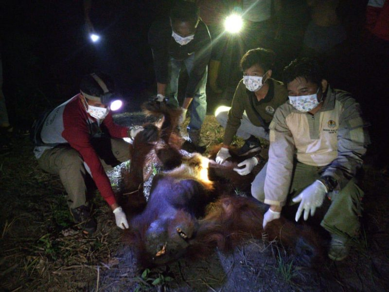 Orangutan saat sekarat ketika dievakuasi tim BKSDA.