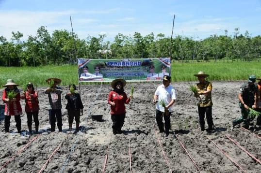 Gubernur Kalteng Sugianto Sabran bersama Bupati Barsel Edy Raya saat menanam padi Kamis (23/1/2020).