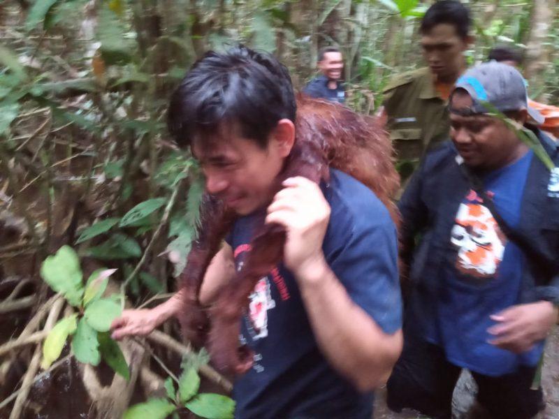 Tim Rescue BKSDA saat mengevakuasi orangutan yang nyasar ke tepi sungai dekat kebun warga Jumat (21/2/2020).
