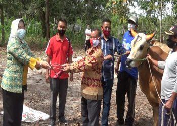 Bupati Kobar Hj Nurhidayah saat menyerahkan secara simbolis sapi kurban Kamis (30/7).