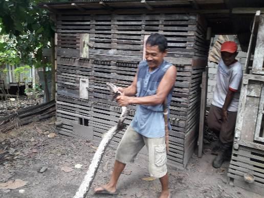 Pemilik ternak ayam saat menangkap ular piton sepanjang 4 meter, Sabtu (19/9).